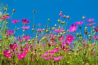 Cosmos Garden against blue sky