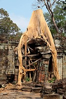 Tree growing on ancient Angkor Wat ruins