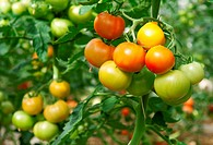 Bunches of tomatoes ripening in a greenhouse.