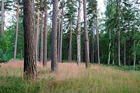 beautiful pine forest in a lovely summer day