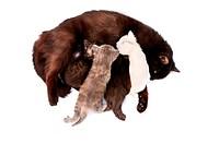 mother feeding little kittens on white background