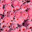 Sweet pink chrysanthemums