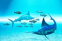 Two blue marlins circle a school of fish in ocean waters.