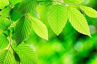 green summer leaves with copyspace showing nature concept