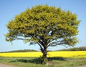 Oak tree in spring flower with yellow flowers of oil seed rape growing in field, Suffolk, England