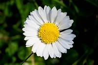 This image shows a macro from a little daisy