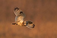 Short_eared Owl Asio flammeus adult, in flight, hunting over grazing marsh, Norfolk, England, november