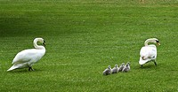 Swan family (Cygnini), walking one after the other on grass