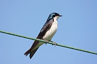 Tree Swallow tachycineta bicolor on a wire with a blue sky background