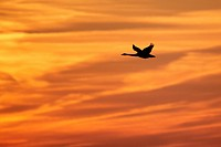 Whooper Swan Cygnus cygnus in flight, silhouetted at sunrise, Caerlaverock W W T , Dumfries and Galloway, Scotland, january