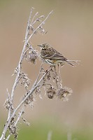 Meadow Pipit Anthus pratensis adult, perched on dead thistle, Suffolk, England, april