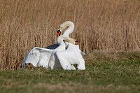 Mute Swan Cygnus olor two adult males, fighting, territorial dispute on grazing marsh, Suffolk, England, february