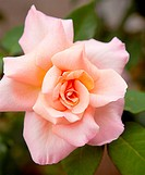 beautiful pink rose in closeup