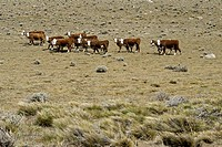 Domestic Cattle, herd, standing in steppe on southern shore of lake, Viedma Lake, Santa Cruz Province, Patagonia, Argentina, september