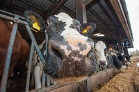 Domestic Cattle, crossbred dairy cow, close_up of head, at feed barrier in shed, Cumbria, England, march