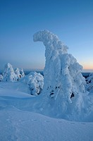 Snow_covered pines at dusk, Mt. Brocken, Harz, Saxony_Anhalt, Germany, Europe