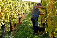 Grape harvest, workers picking grapes, vineyard, Riquewihr, Alsace Wine Route, France, Europe