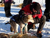 Veterinarian examining sled dog, Alaskan Husky, stethoscope, in Pelly Crossing Checkpoint, Yukon Quest 1, 000_mile International Sled Dog Race 2010, Y...