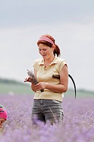 In the fields of organic grown blooming lavender (Lavandula) the blossoms are cut with sickles to destillate the lavender oil, Moldova, Eastern Europe
