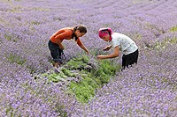 In the fields of organic grown blooming lavender Lavandula the blossoms are cut with sickles to destillate the lavender oil, Moldova, Eastern Europe