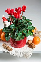 Red cyclamen decorated for Christmas