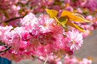 Macro pink japanese cherry twig blossom