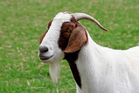 Brown and white boer goat in a field