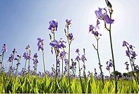 Blooming field of German Iris (Iris germanica), cultivated bio-dynamically in the mountains of the border area of Tuscany and the Apennines, Italy, Eu...