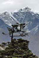 tree in front of Cholatse and Taboche mountain in Nepal