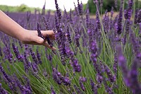 A childs hand running through the purple flowers at a lavender field