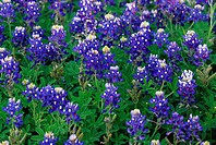 This is a close up of a field of Blue Bonnets