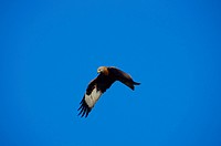 Austria, Vorarlberg, avian, birds of prey, red kite, Milvus milvus, in flight