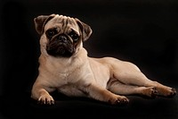 Lying Pug puppy
