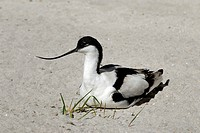 Pied Avocet Recurvirostra avosetta brooding on its eggs