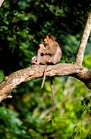 A mother and child Bonnet Macaue sitting on a tree