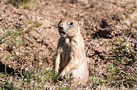 Prairie Dog (Cynomys) at Devils Tower, living in the wild, Wyoming, USA