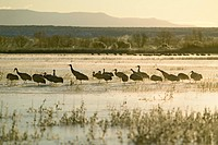 Sandhill cranes walk on frozen lake at sunrise over the Bosque del Apache National Wildlife Refuge, near San Antonio and Socorro, New Mexico