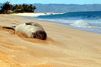 Hawaii, Sunset Beach. Endangered Monk Seal Napping