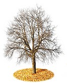 The lonely isolated on white autumn tree without leaves. All yellow leaves have fallen to a lawn.