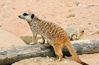Close up of a Meerkat suricata suricatta