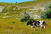 rural landscape with a grazing cow background