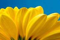 Macro view of yellow petals with blue sky background