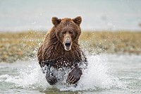 USA, Alaska, Katmai National Park, Grizzly Bear Cub Ursus arctos runs while fishing in salmon spawning stream by Kinak Bay