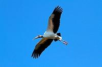 Wood Stork Mycteria americana flying over the Florida Everglades