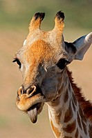Close_up portrait of a giraffe Giraffa camelopardalis, Kalahari desert, South Africa