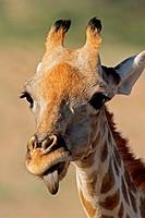 Close_up portrait of a giraffe Giraffa camelopardalis, Kalahari desert, South Africa
