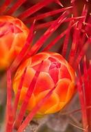 Barrel cactus bud, Desert Garden, Balboa Park, San Diego, California