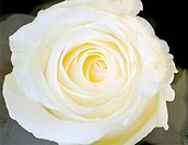 Strict close up of a white rose