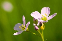 This image shows a macro from a cuckoo flower