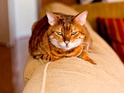 Orange bengal cat on back of sofa with mean stare